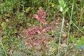 Orobanche alba inflorescence (35).jpg