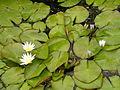 OrtoBotPadova Nymphaea caerulea.jpg