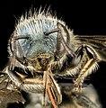 Osmia albiventris, F, Face, MD, Cecil County 2013-08-08-14.23.02 ZS PMax (9543744190).jpg