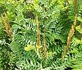 Osmunda spectabilis Kentucky.jpg