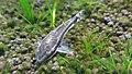 Otosek przyujściowy (Otocinclus affinis).jpg