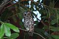 Otus senegalensis (Strigidae) (African Scops Owl) - (adult), Kruger National Park, South Africa.jpg
