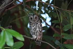 Otus senegalensis (Strigidae) (African Scops Owl) - (adult), Kruger National Park, South Africa.jpg