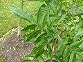 P1000688 Rhus copallina (Shining Sumac, Winged Sumac) (Anacardiaceae) Leaf.JPG