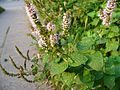 P1010644-mentha-suaveolens-uncertain.JPG