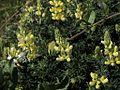 P20130507-0026—Lupinus arboreus—Point Reyes-1 (8740932527).jpg
