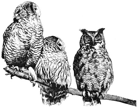 PSM V41 D333 Snowdon puffy and great horned owls.jpg