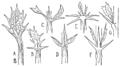 PSM V45 D627 Berberis vulgaris.png