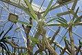 Pachypodium geayi 6zz.jpg