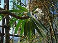 Pachypodium lamerei 01.JPG