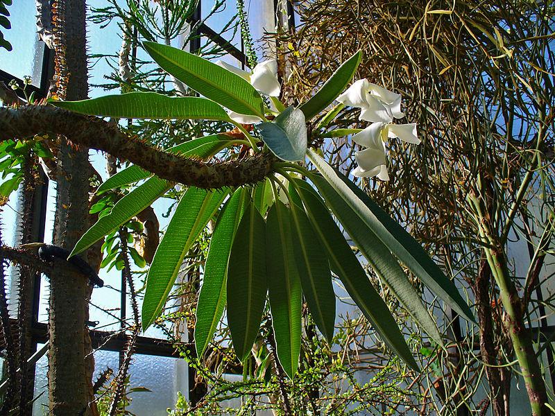 File:Pachypodium lamerei 01.JPG