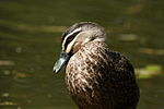 Pacific Black Duck.jpg