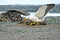 Pacific Gull, One step landing - Flickr - birdsaspoetry.jpg