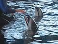 Pacificwhitesideddolphins.JPG