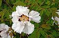 Paeonia Suffruticosa 5734.jpg