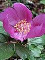 Paeonia mascula subsp. russi (Paeoniaceae).jpg