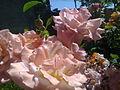 Pak pink roses.jpg