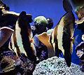 Palma Aquarium-Pez murciélago.jpg