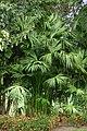 Palma iraca (Carludovica palmata) (14540894363).jpg