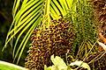 Palma robelina (Phoenix roebelenii) - Infrutescencias (14830670382).jpg