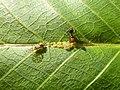 Panaphis juglandis and Crematogaster scutellaris 06.jpg