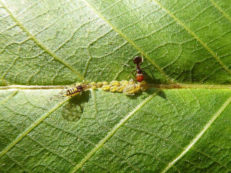 File:Panaphis juglandis and Crematogaster scutellaris 06.jpg