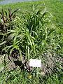 Panicum virgatum - Botanical Garden in Kaisaniemi, Helsinki - DSC03560.JPG