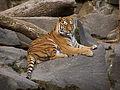 Panthera tigris altaicaPanthera tigris altaica Tierpark Berlin (animals).JPG