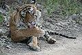 Panthera tigris male t3 Ranthambhore Tiger Reserve.jpg