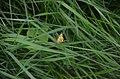 Pantherspanner im Naturschutzgebiet Eiterbachtal, Odenwaldkreis.jpg