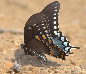 Spicebush Swallowtail Papilio troilus, Photo t...