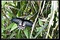 Papilionidae (10779766094).jpg