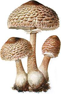 Gomba paraziták példák Élősködő – Wikipédia