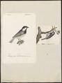 Parus ater - 1700-1880 - Print - Iconographia Zoologica - Special Collections University of Amsterdam - UBA01 IZ16100107.tif