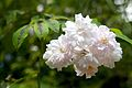 Paul's Himalayan Musk Rose, Hare Hill 1.jpg