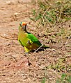 Peach-fronted Parakeet (Aratinga aurea) feeding on the ground ... (29422422975).jpg