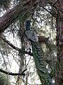 Peacock-from-Thannerbavi-Mangalore.jpg