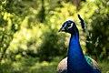 Peacock (144847967).jpeg