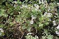 Pelargonium graveolens in INBG Glasnevin Dublin 03.jpg