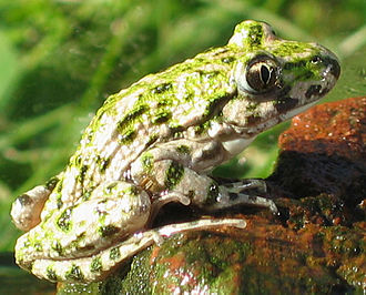 Parsley frog - Common parsley frog