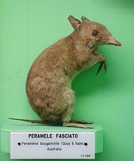 Western barred bandicoot species of mammal