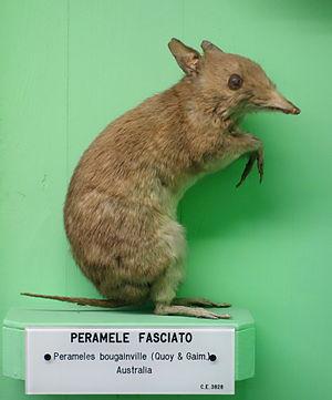 Western barred bandicoot - Image: Perameles bougainville Museo Civico di Storia Naturale Giacomo Doria Genoa, Italy DSC02989