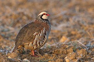 Red-legged partridge Species of bird