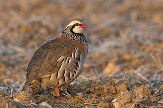 Red-legged partridge - Image: Perdrix rouge