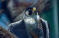 Peregrine Falcon (Falco peregrinus)(captive specimen) (14944784205).jpg