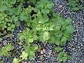 Perilla frutescens (L.) Britton (AM AK309109-1).jpg
