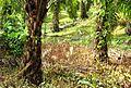 Perkebunan kelapa sawit milik rakyat (53).JPG