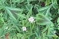 Persicaria 'Purple fantasy' (SG) (32820272302).jpg