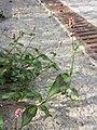 Persicaria maculosa sl3.jpg