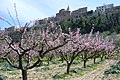 Pescheto in fiore di Ripa teatina - panoramio.jpg